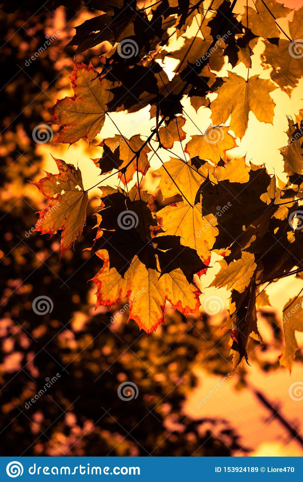 Φύλλα σφενδάμου φθινοπώρου αναμμένα από το φως του ήλιου Ζωηρόχρωμο υπόβαθρο φθινοπώρου Μαλακή εστίαση, επιλεγμένη εστίαση