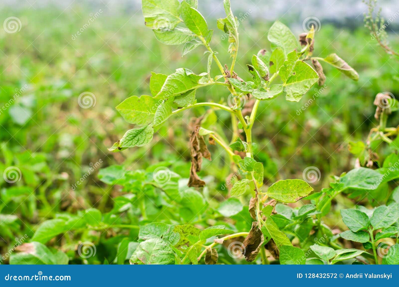 Φύλλα της πατάτας με τις ασθένειες Εγκαταστάσεις της πατάτας κτυπημένο Phytophthora Phytophthora Infestans στον τομέα κλείστε επά