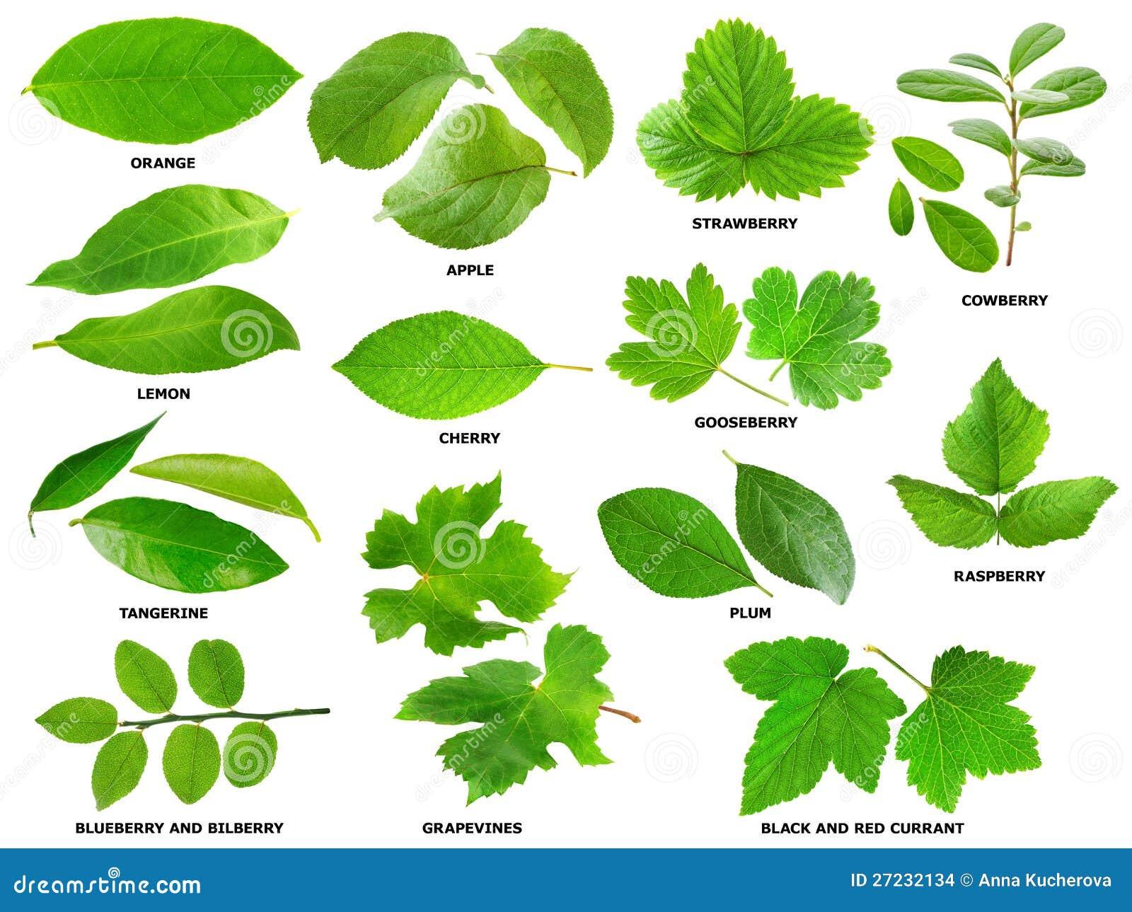 Φύλλα του καρπού και των θάμνων και των δέντρων μούρων