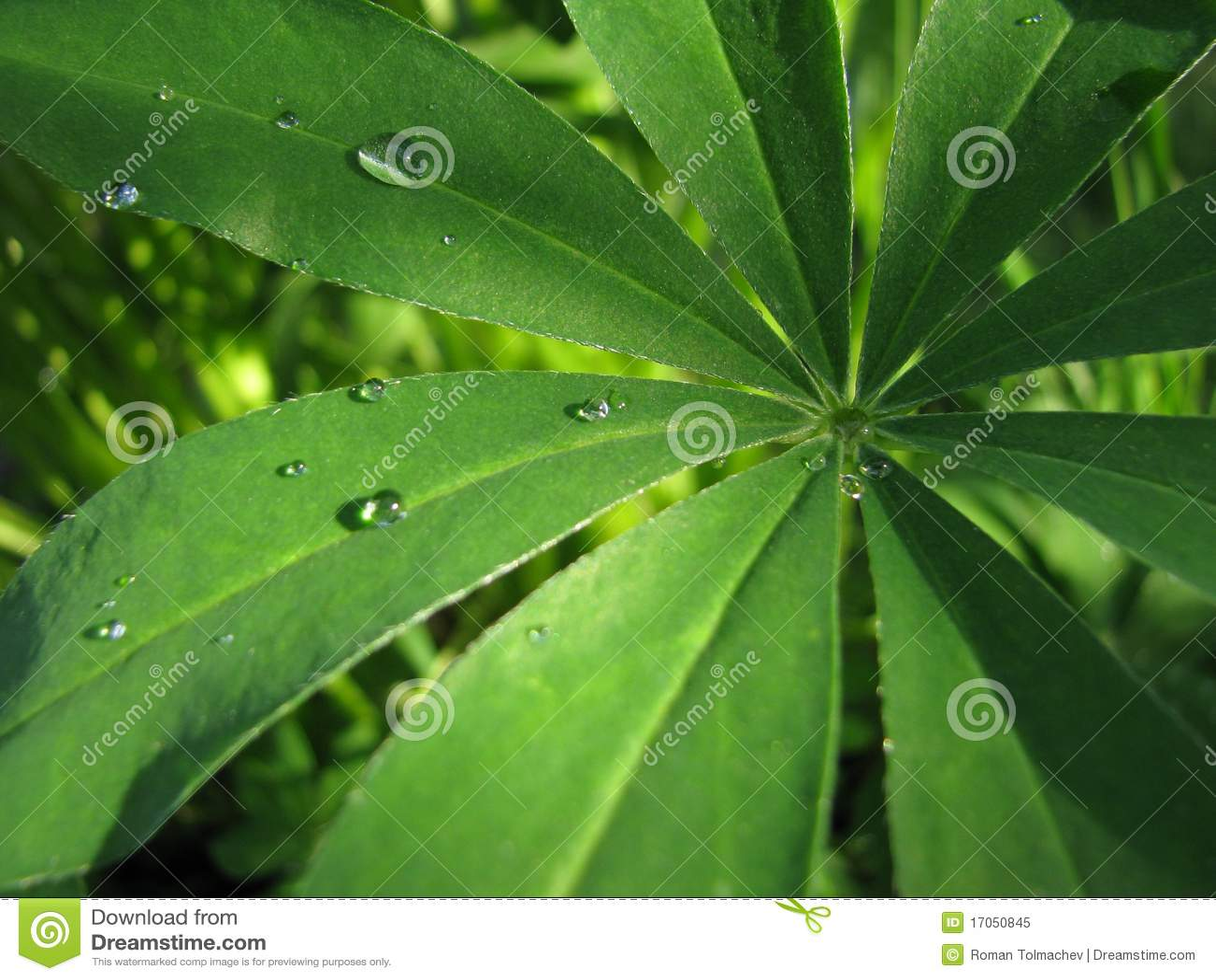 Φύλλα του lupine