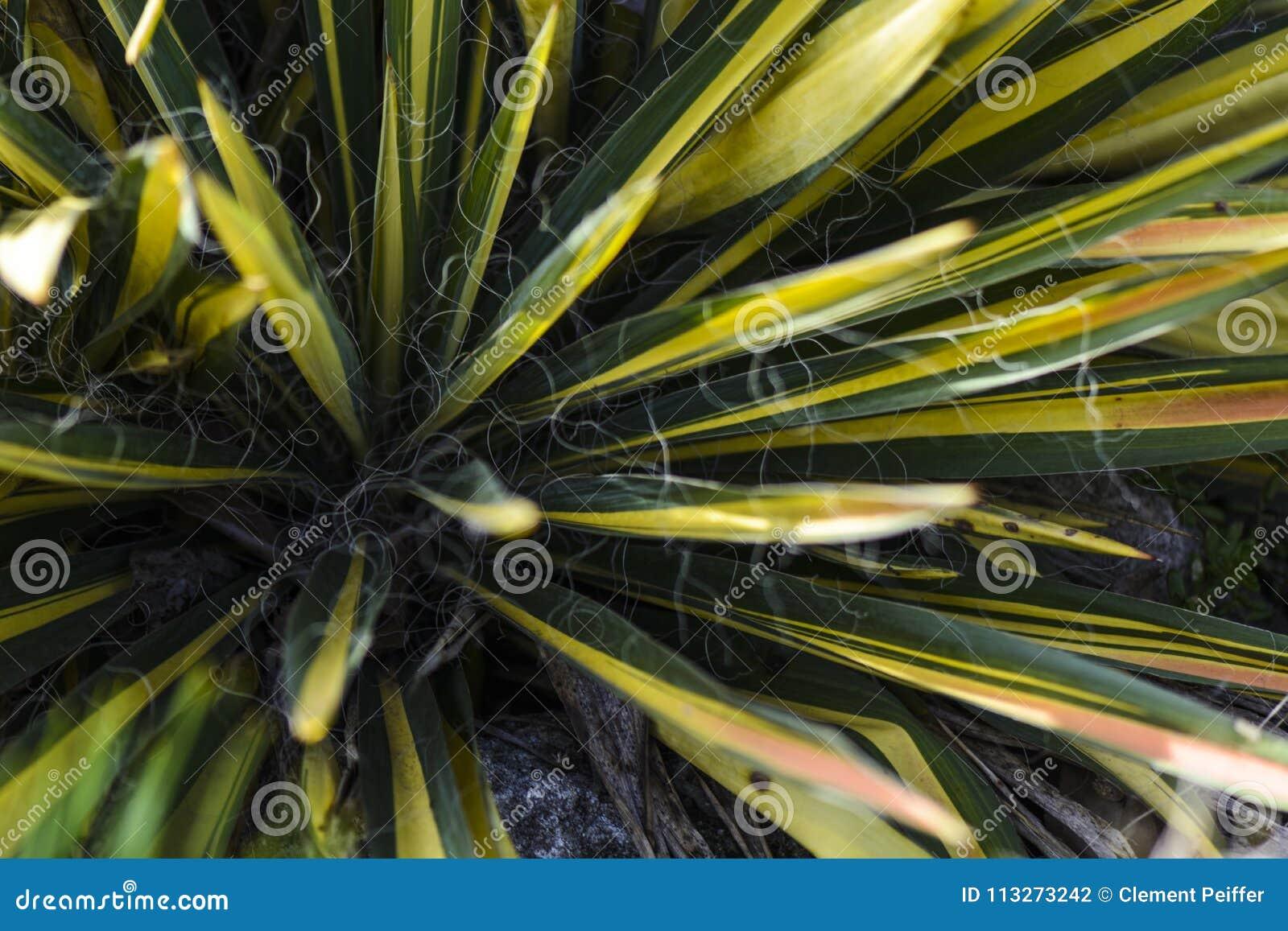 Φύλλα του variegata yucca στον ήλιο