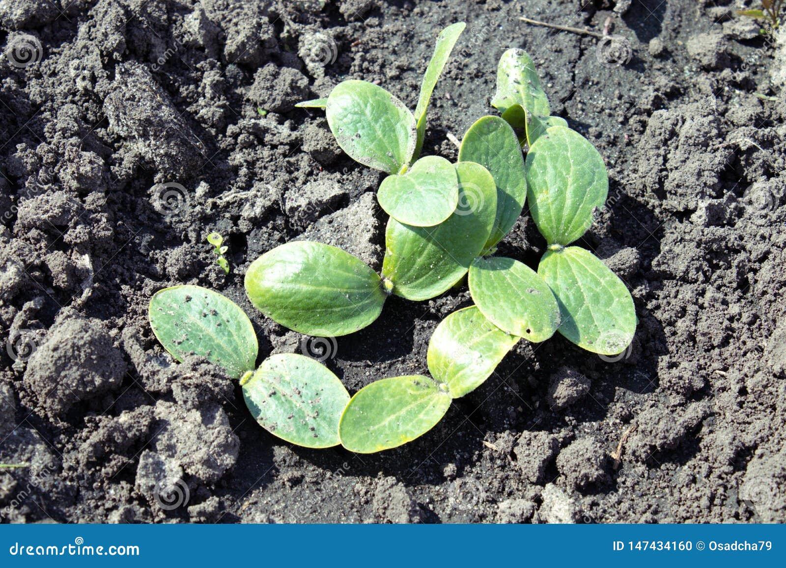 Φύλλα των νέων κολοκυθιών parostkov