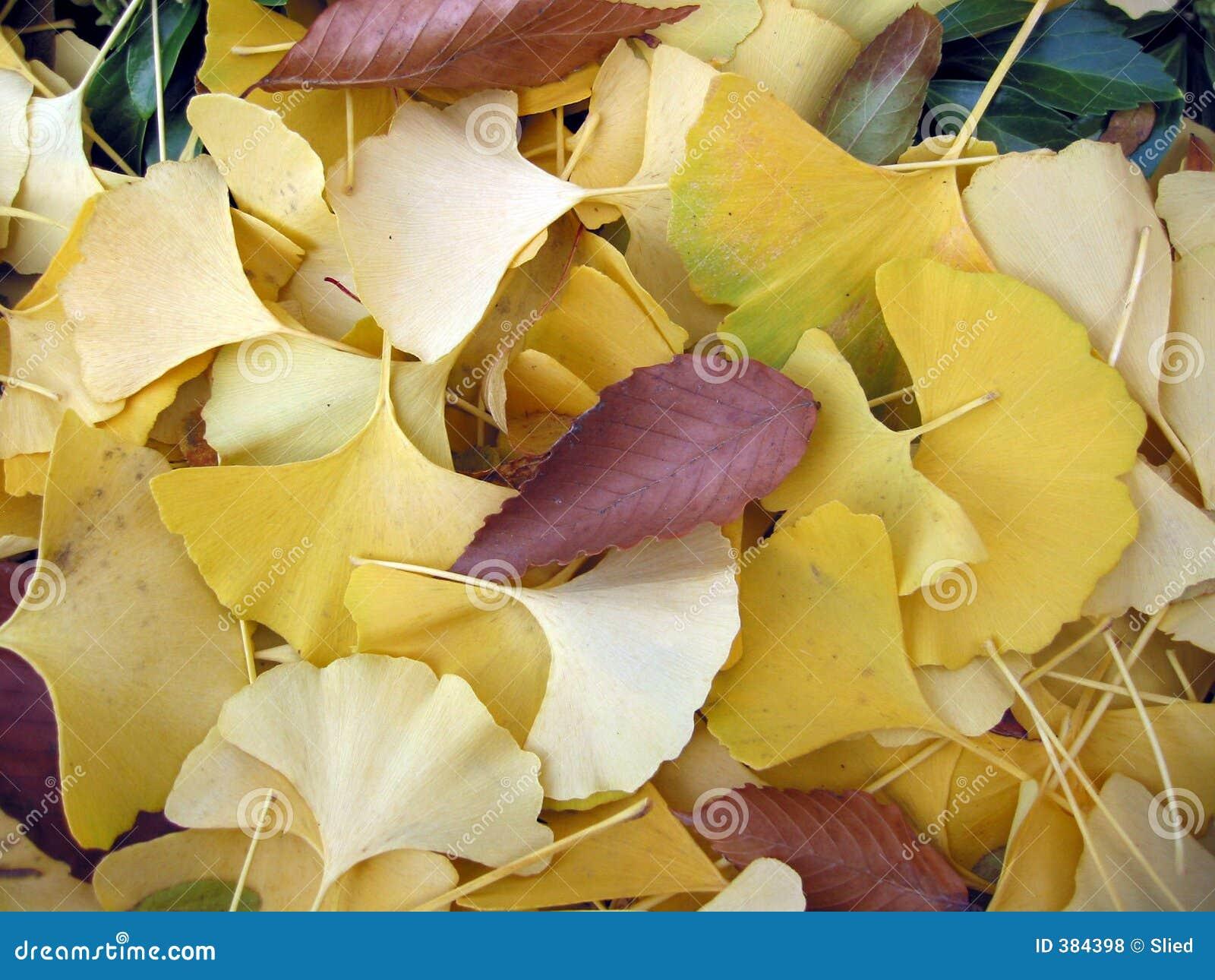 φύλλα ginko