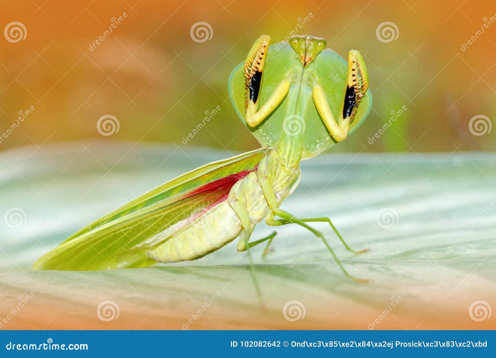 Φύλλο Mantid, rhombicollis Choeradodis, έντομο από τον Ισημερινό Όμορφο πίσω φως βραδιού με το άγριο ζώο Σκηνή άγριας φύσης από ε