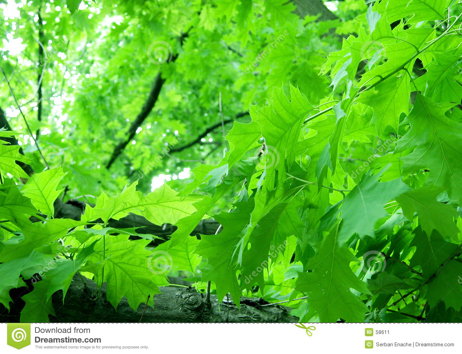 Download φύλλωμα πράσινο στοκ εικόνα. εικόνα από πράσινος, βαλανιδιά - 58611