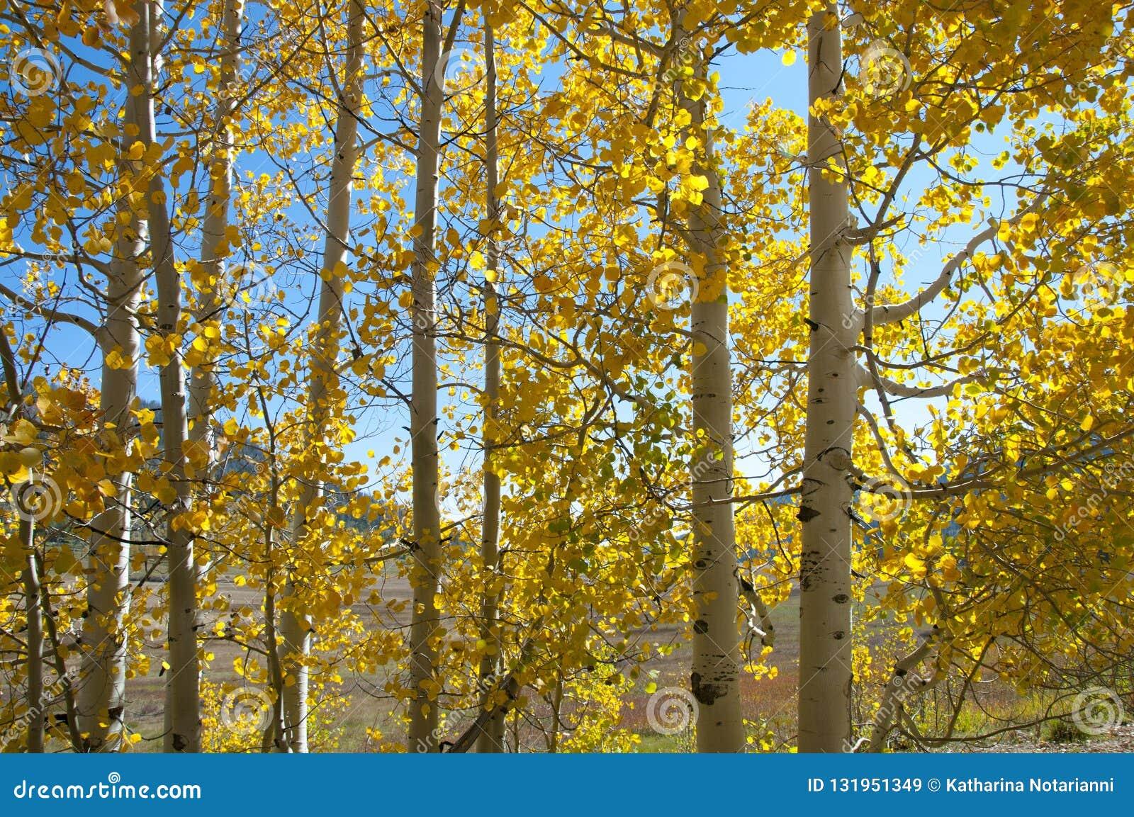 Φύλλωμα πτώσης στα κίτρινα δέντρα της Aspen που επιδεικνύουν τα χρώματα φθινοπώρου τους
