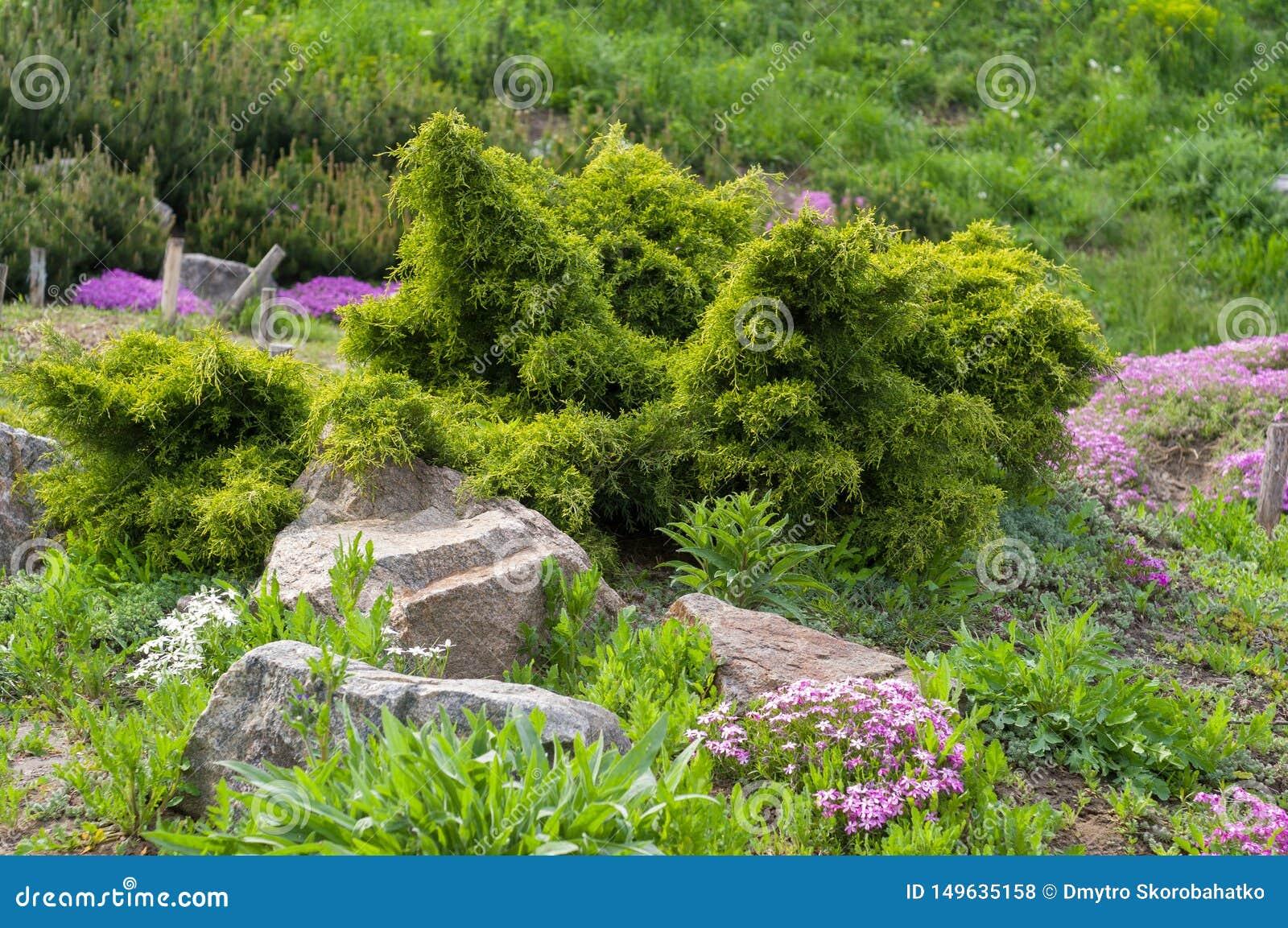 Φύτευση των κωνοφόρων θάμνων και των διακοσμητικών λουλουδιών κοντά στις πέτρες στον κήπο