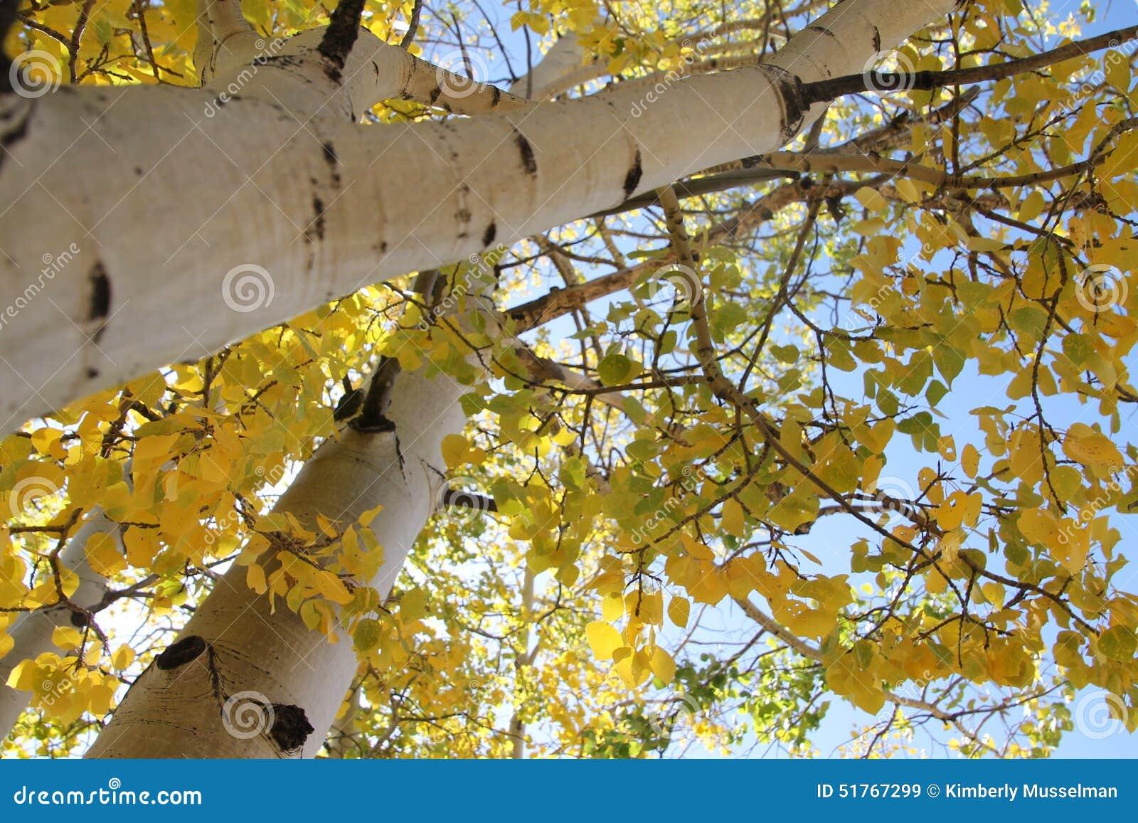 Φύλλα της Aspen πτώσης