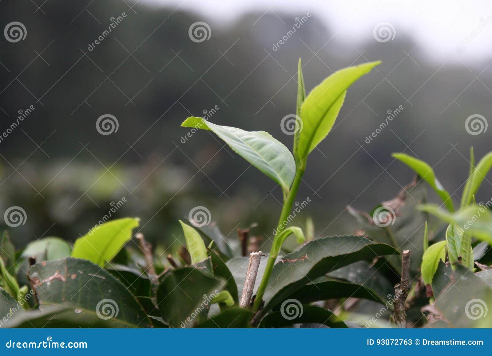 Φύλλα τσαγιού που ανοίγουν σε ένα αγρόκτημα τσαγιού