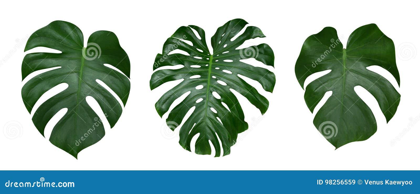 Φύλλα φυτών Monstera, η τροπική αειθαλής άμπελος που απομονώνεται στο άσπρο υπόβαθρο, πορεία