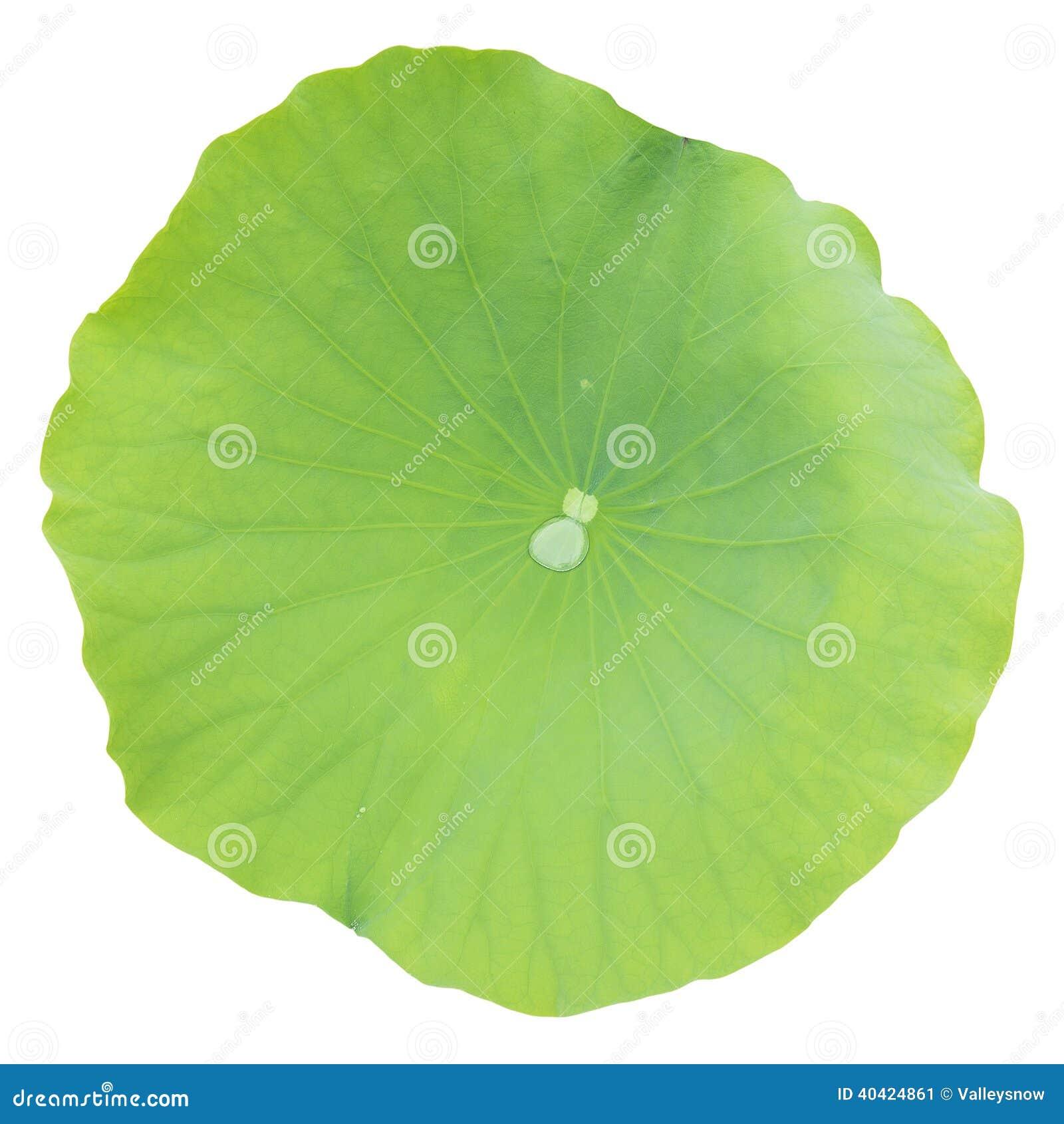 Φύλλο Lotus