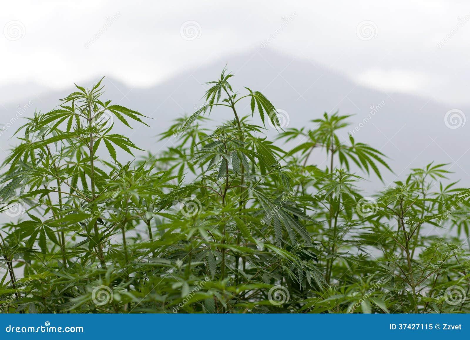 Φύλλωμα μαριχουάνα
