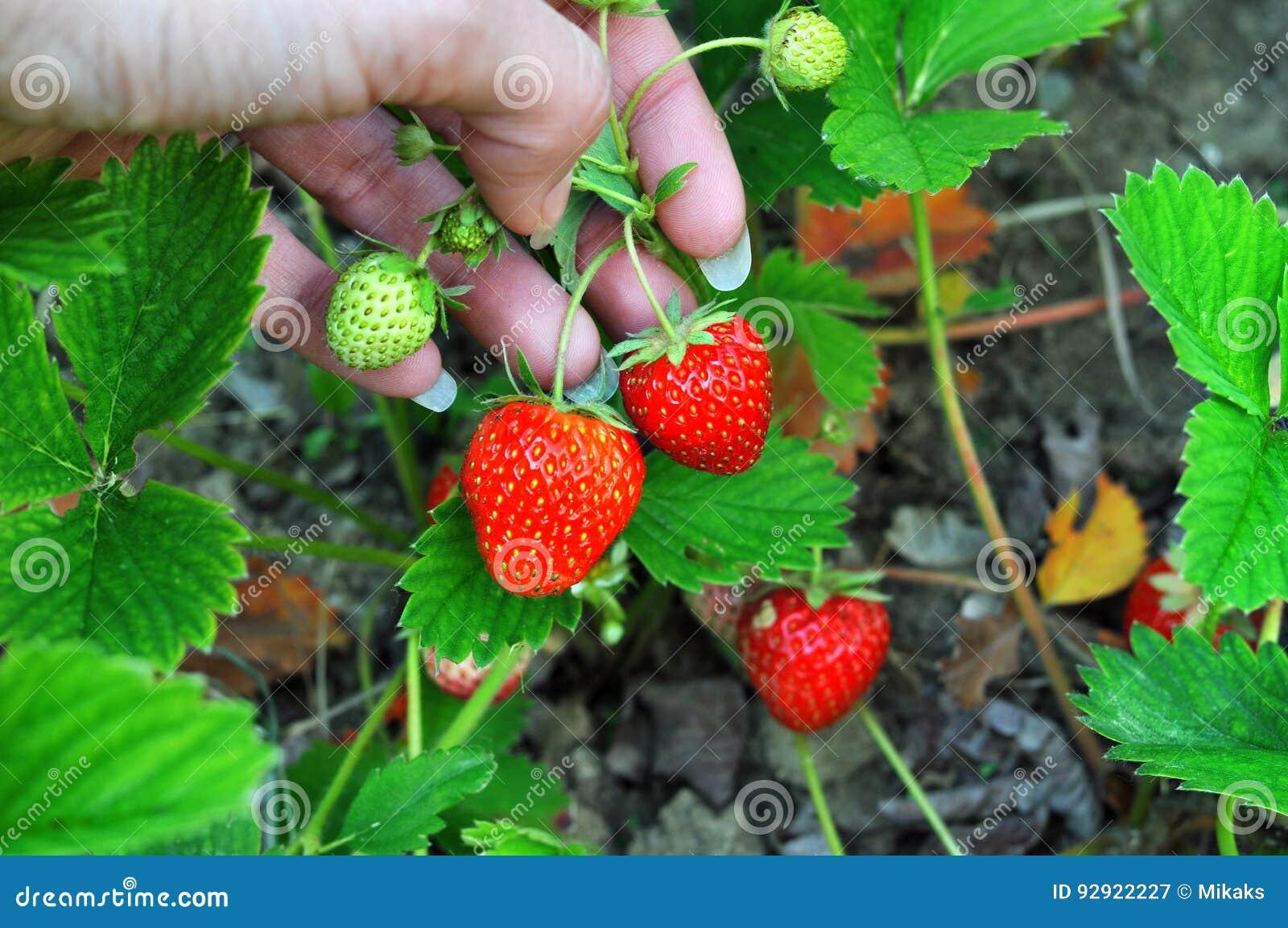 Χέρι γυναικών με τις φρέσκες φράουλες που συλλέγονται στον κήπο Φρέσκες οργανικές φράουλες που αυξάνονται στον τομέα
