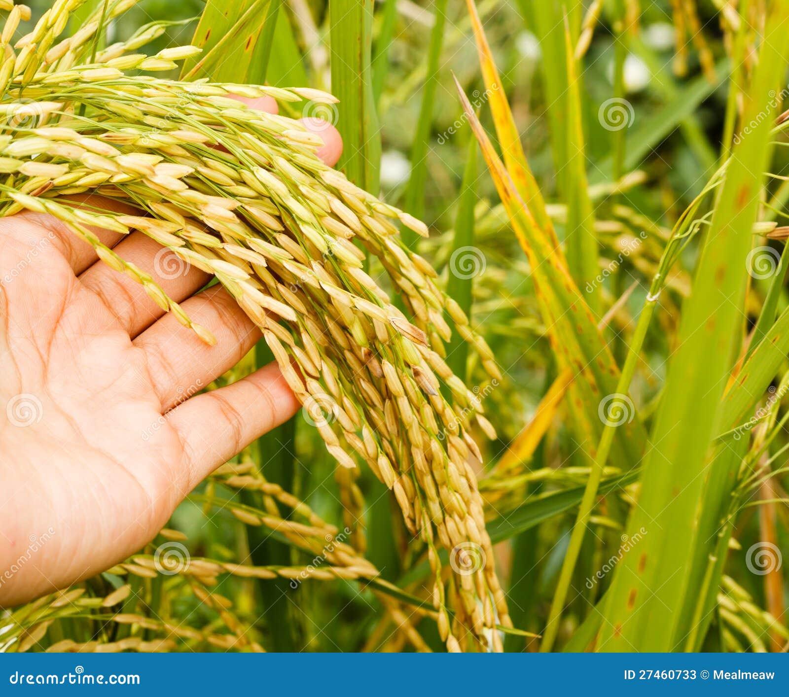 Χέρι με το πεδίο ρυζιού