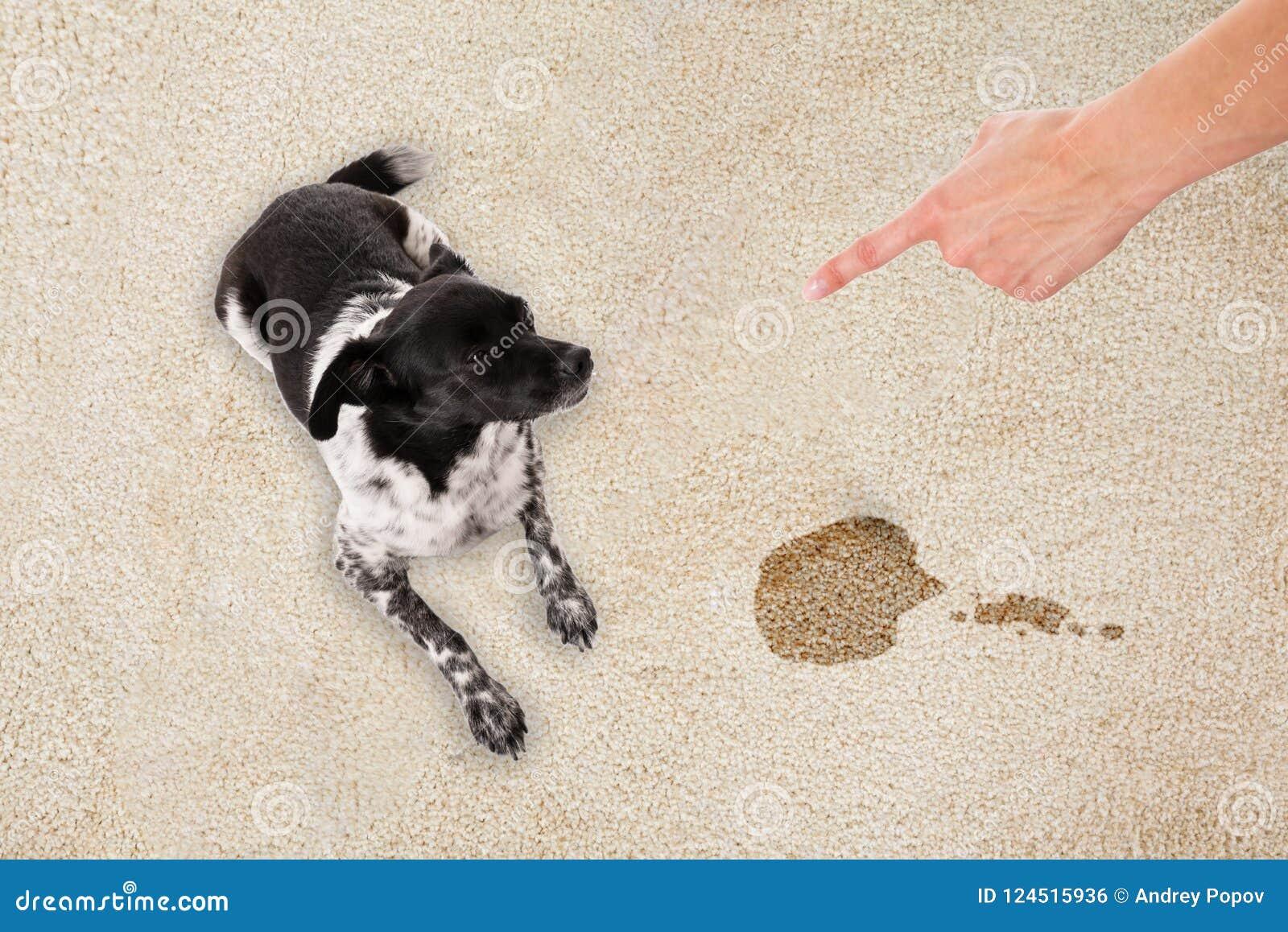 Χέρι που δείχνει προς τη συνεδρίαση σκυλιών στο βρώμικο τάπητα
