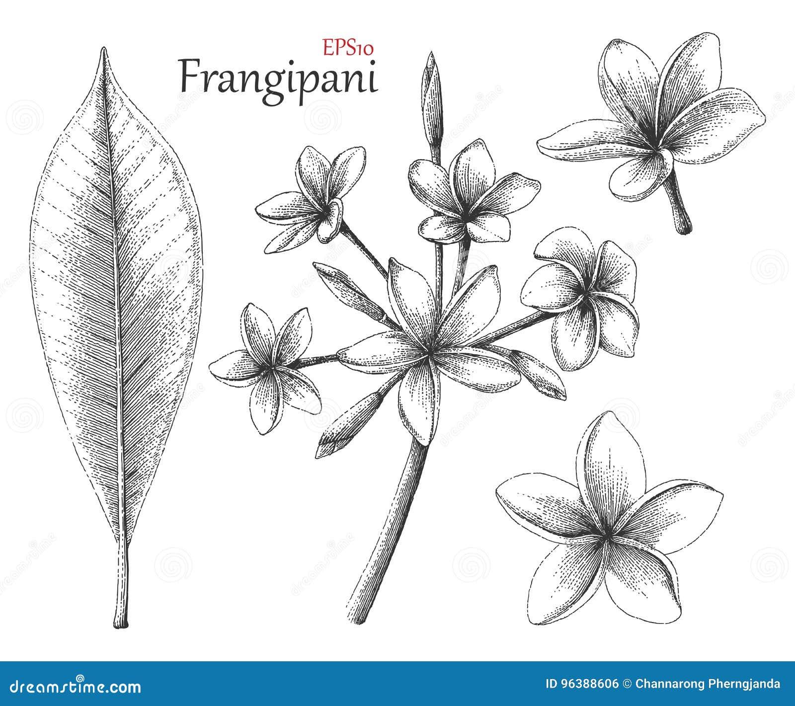 Χέρι Frangipani που σύρει το εκλεκτής ποιότητας ύφος