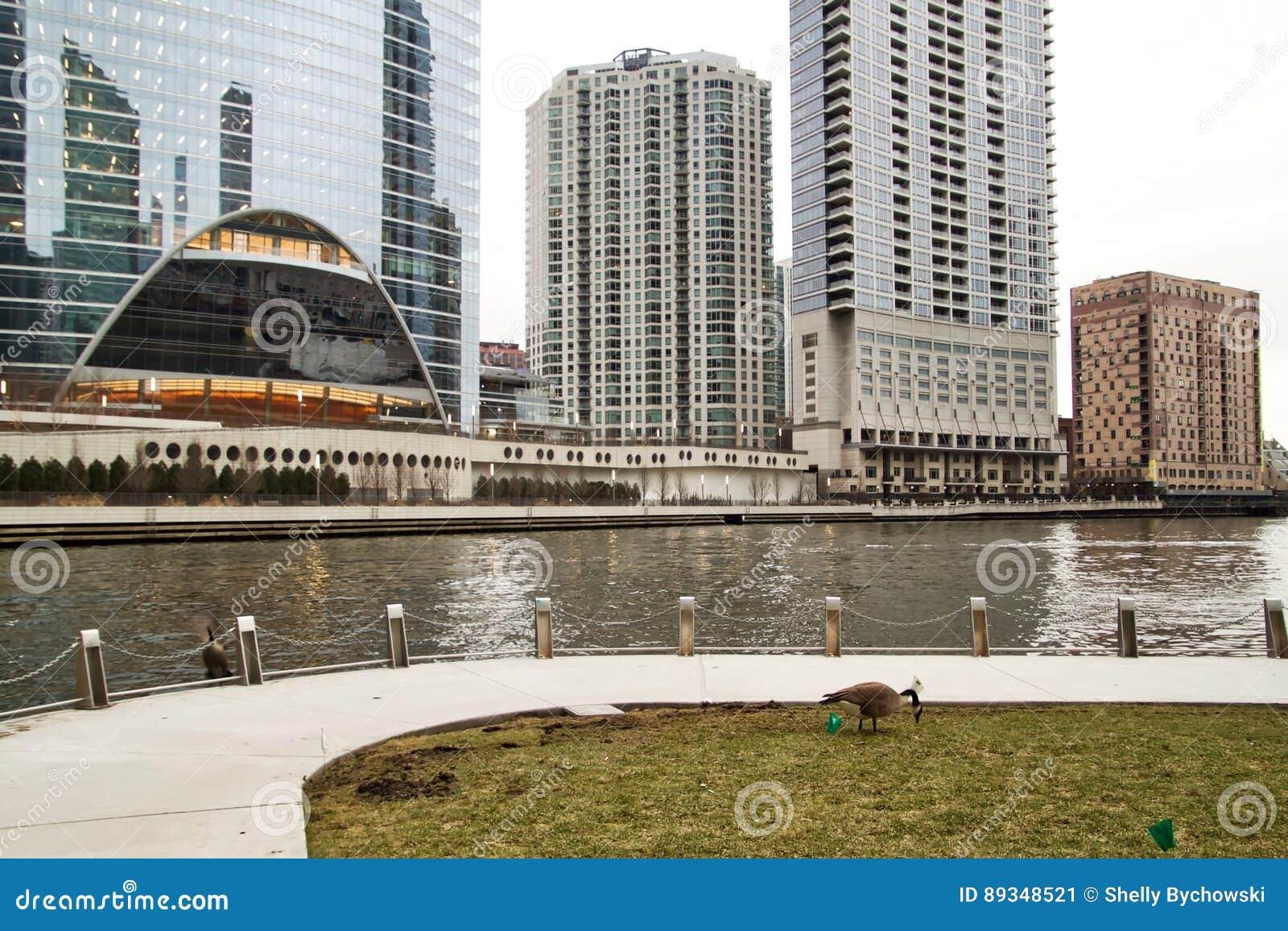 Χήνες που ταΐζουν κατά μήκος του Σικάγου riverwalk