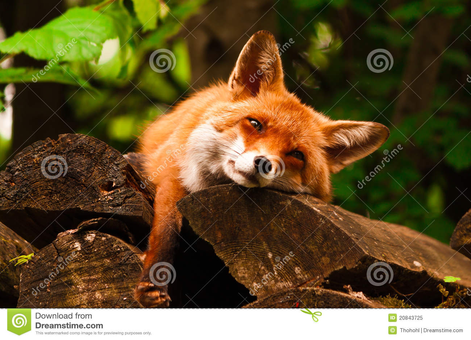 χαλάρωση αλεπούδων