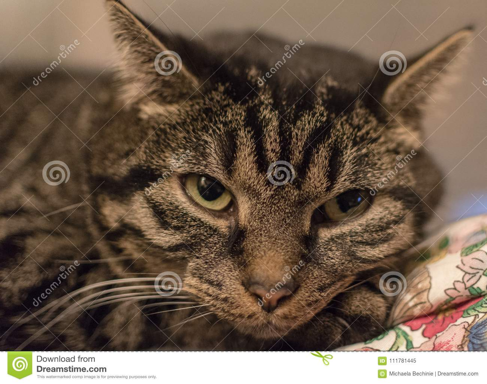 Χαλαρωμένη χαριτωμένη και ριγωτή γάτα αμέσως μετά από να ξυπνήσει