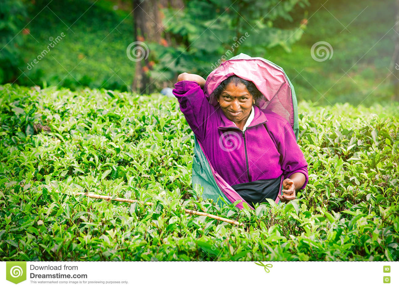 Χαμογελώντας γυναίκα που εργάζεται στη φυτεία τσαγιού Sri Lankan