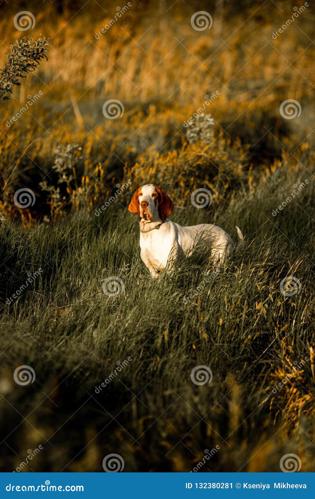 χαμόγελο του σκυλιού κυνηγόσκυλων μπασέ standingin στη χλόη στο ηλιοβασίλεμα Πράσινη ανασκόπηση