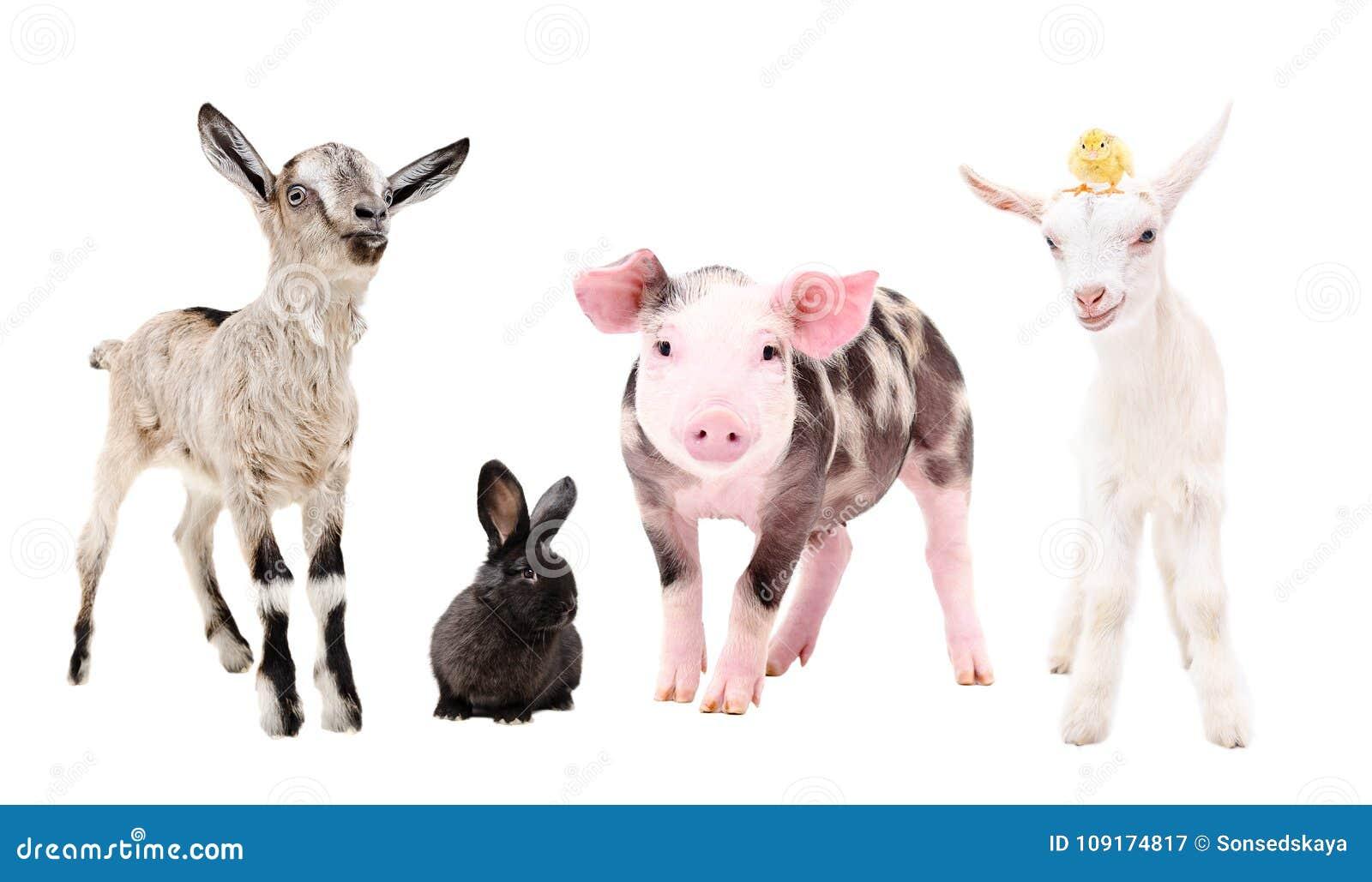 Χαριτωμένα ζώα λίγων αγροκτημάτων, που στέκονται από κοινού