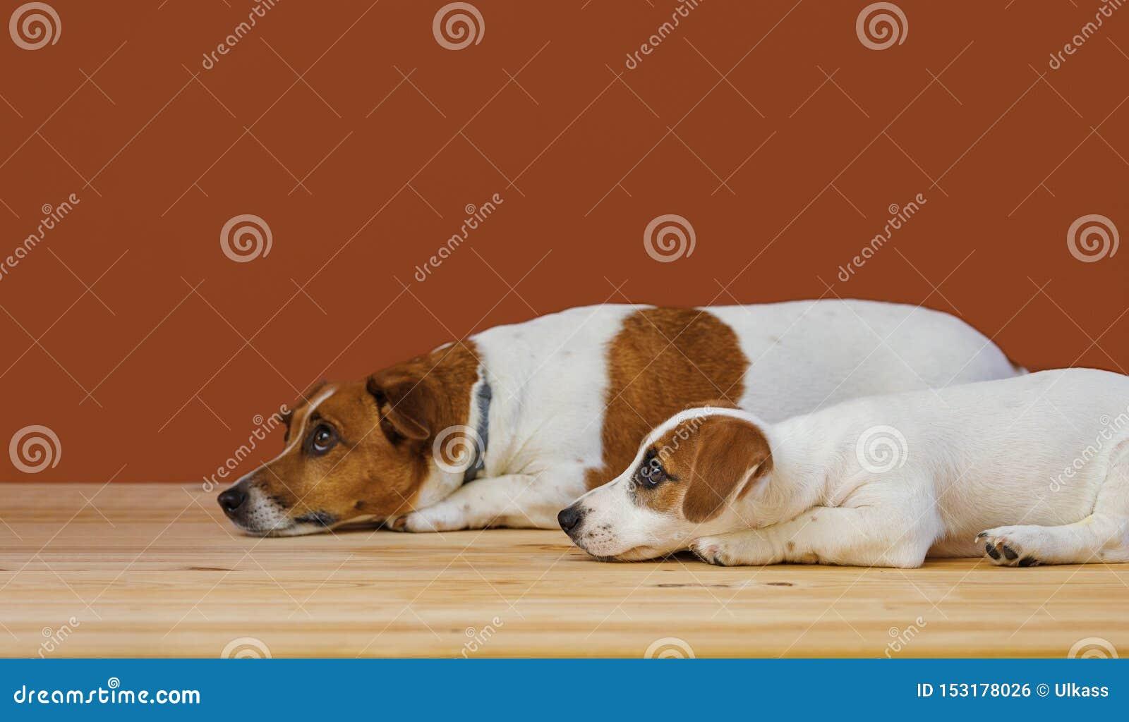 Χαριτωμένη μητέρα και το σκυλί τεριέ γρύλων κουταβιών της russel στον πυροβολισμό στούντιο