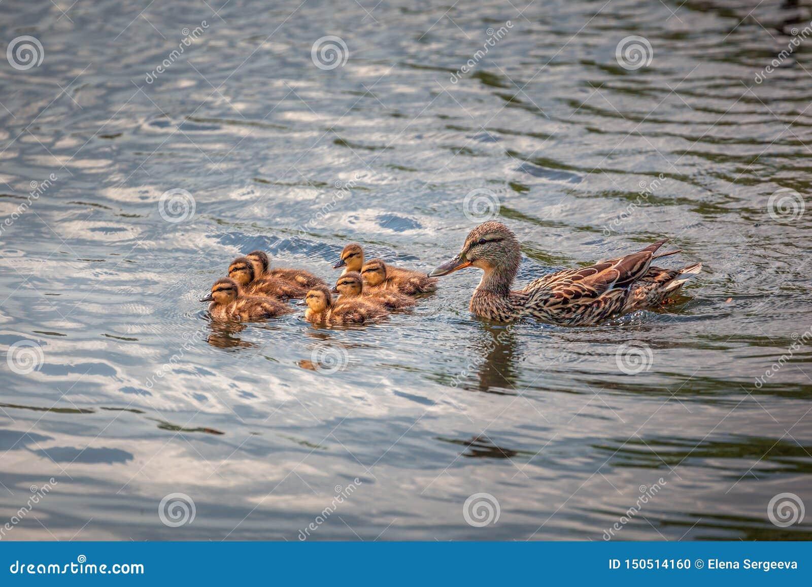 Χαριτωμένη οικογένεια παπιών που κολυμπά από κοινού