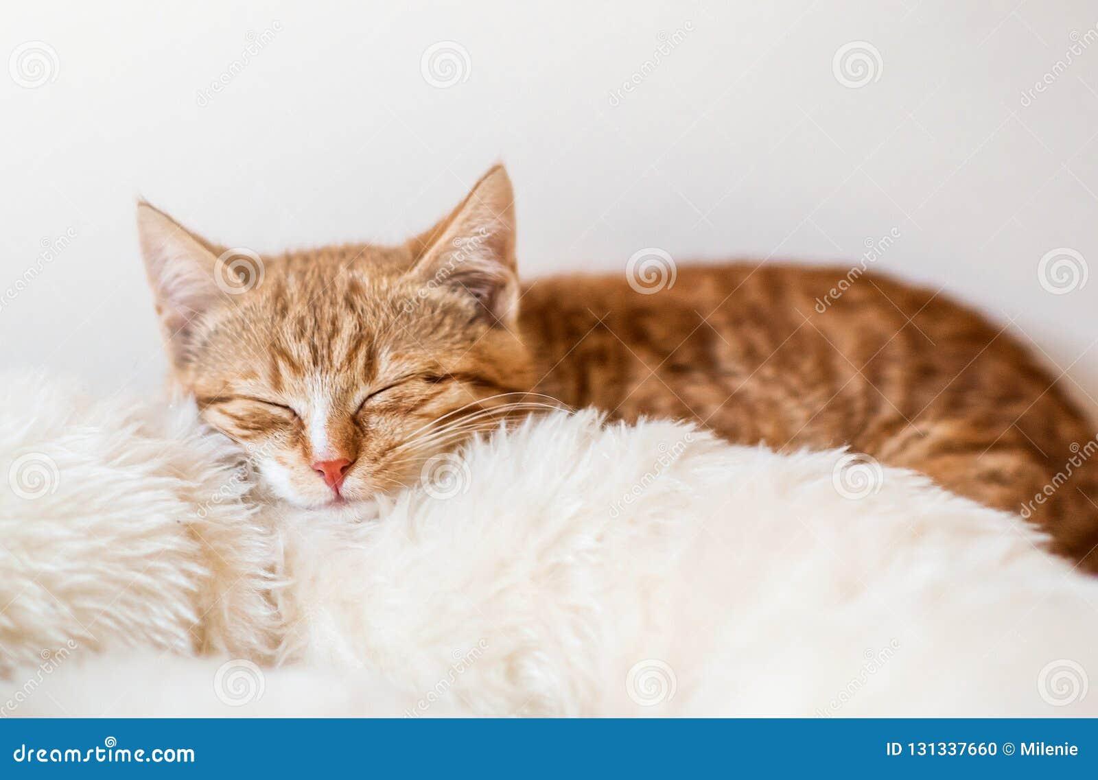 Χαριτωμένος λίγος ύπνος γατακιών πιπεροριζών στο μαλακό άσπρο κάλυμμα
