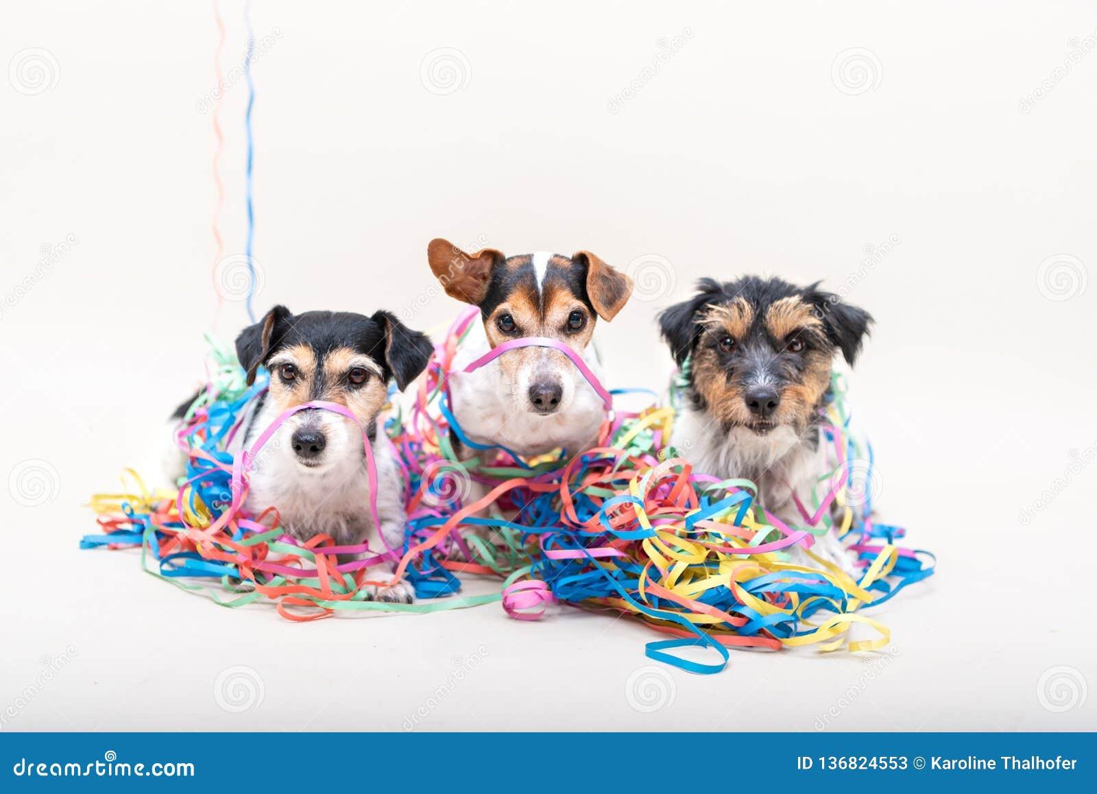 Χαριτωμένο άτακτο σκυλί κομμάτων τρία Σκυλιά του Jack Russell έτοιμα για καρναβάλι