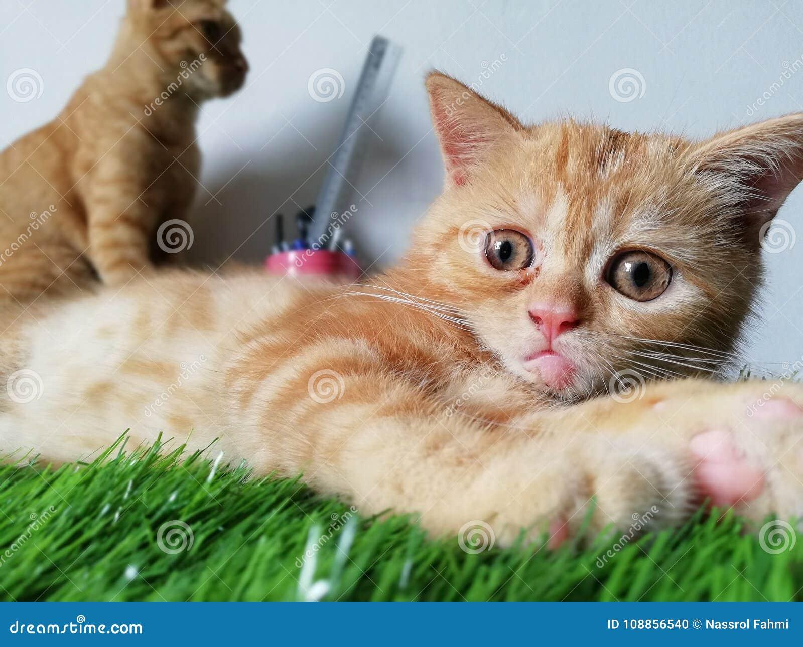 d30aa49a6067 Η Dora είναι μια βρετανική κοντή τιγρέ γάτα τρίχας που έχει uniqur τη  έκφραση του προσώπου