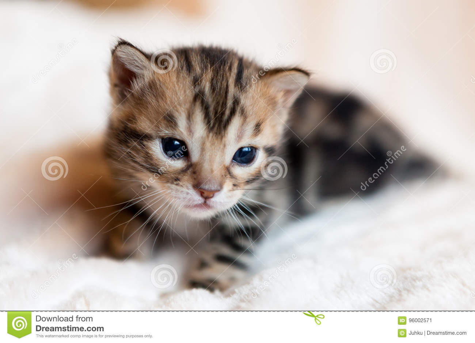 Χαριτωμένο γατάκι της Βεγγάλης