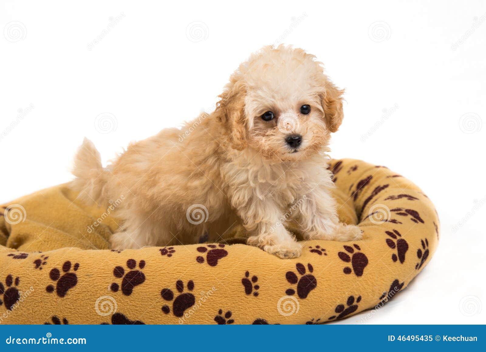 Χαριτωμένο και περίεργο poodle κουτάβι που στέκεται στο κρεβάτι της
