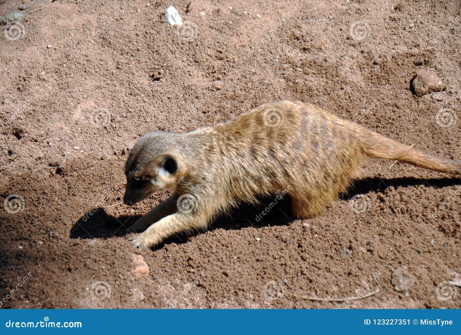 Χαριτωμένο σκάψιμο meerkat γύρω στην άμμο στην ηλιοφάνεια