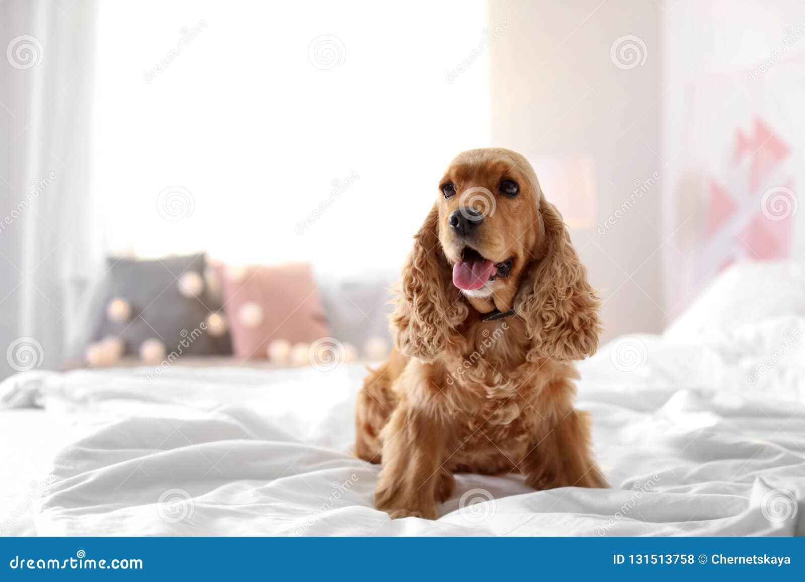 fd403601fd74 Χαριτωμένο σκυλί σπανιέλ κόκερ στο κρεβάτι στο σπίτι Στοκ Εικόνες ...