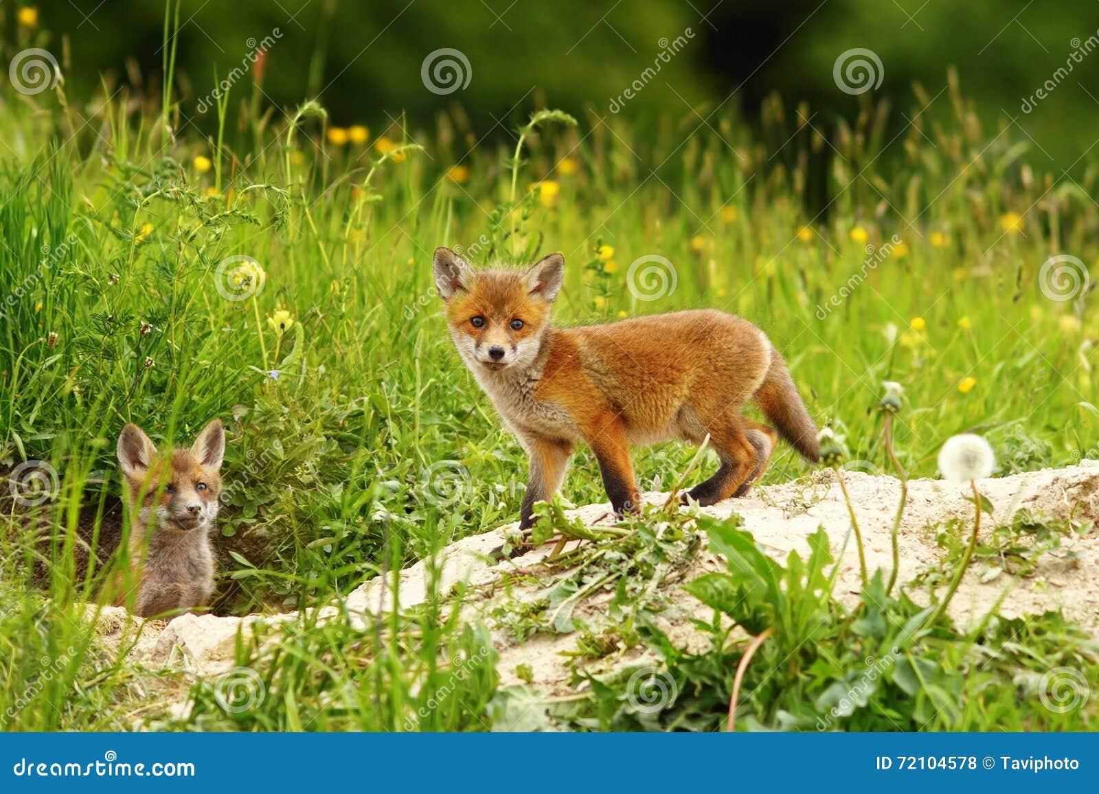 Χαριτωμένο cub αλεπούδων