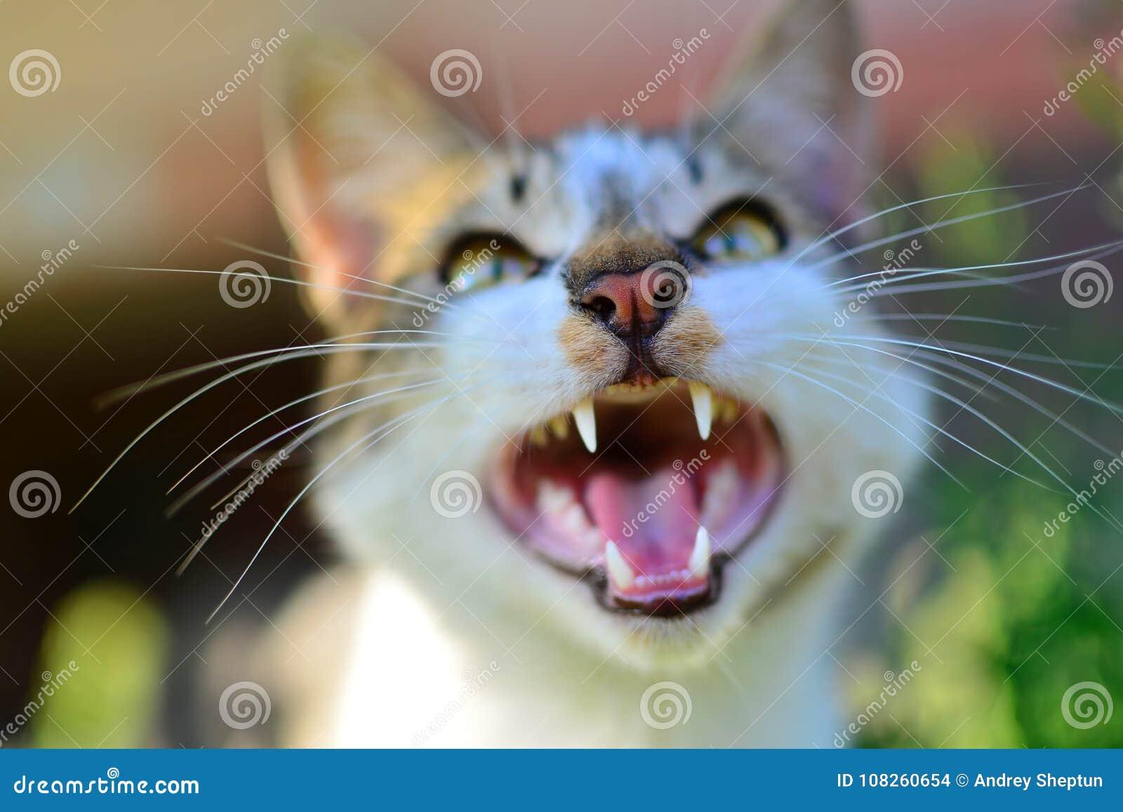 Χασμουρητό γατών με το ανοικτό στόμα