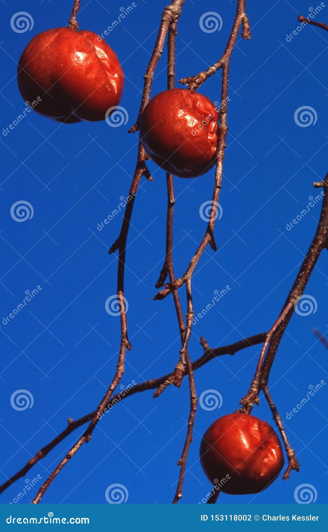 Χειμερινά μήλα ενάντια σε έναν βαθύ μπλε ουρανό