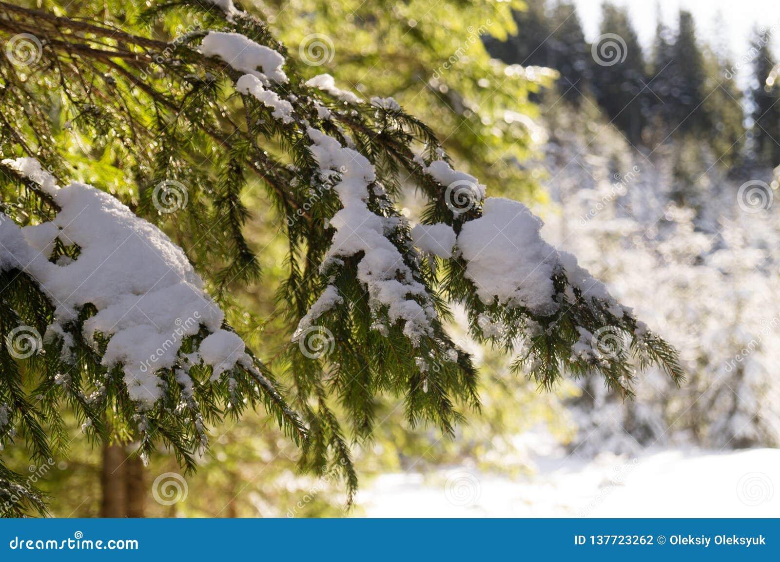 Χειμερινές περιπέτειες Χιονώδη δασικά Carpathians Ουκρανία