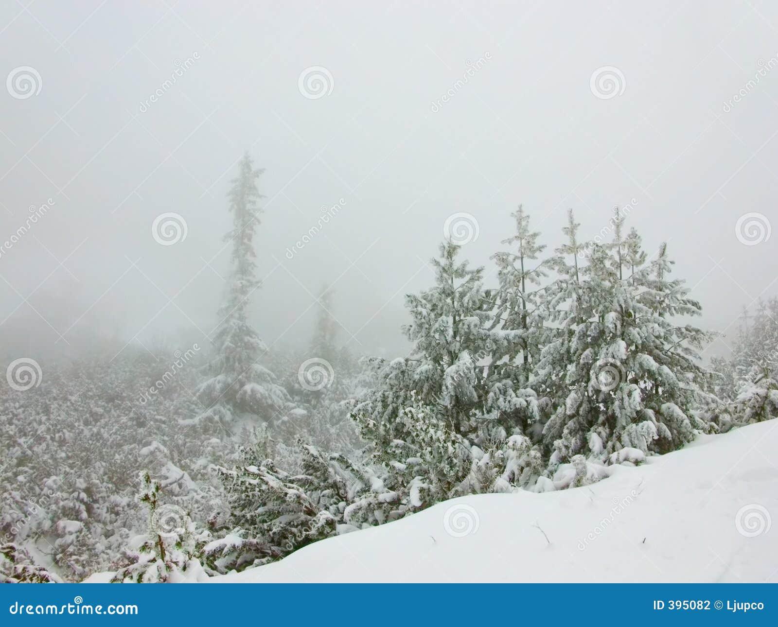 χειμώνας δέντρων πεύκων