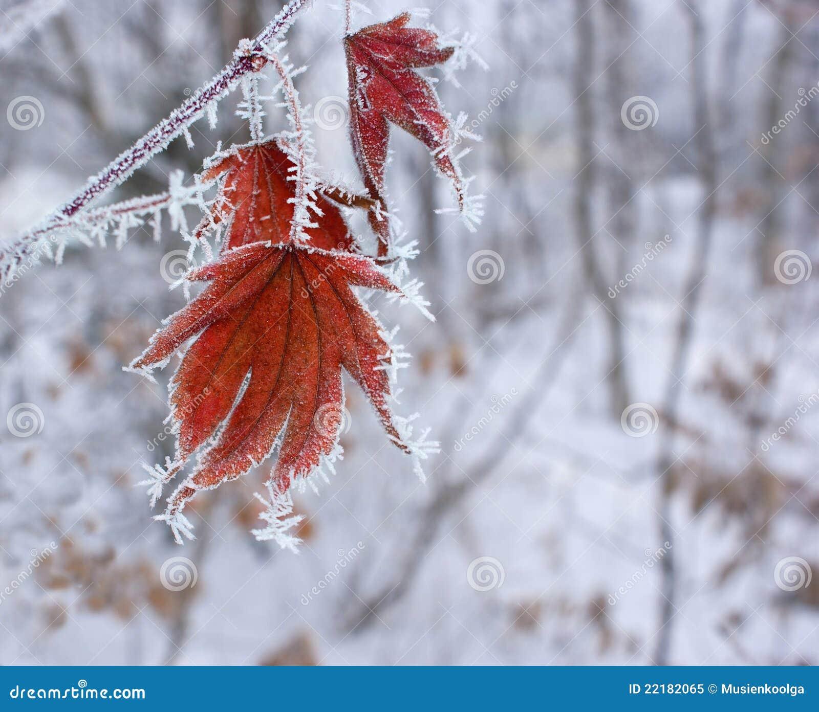 χειμώνας σφενδάμνου φύλλ&o