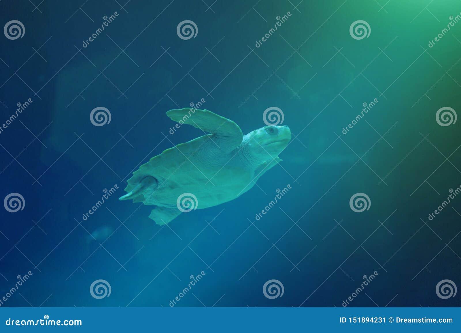 Χελώνα θάλασσας που κολυμπά στον ωκεανό