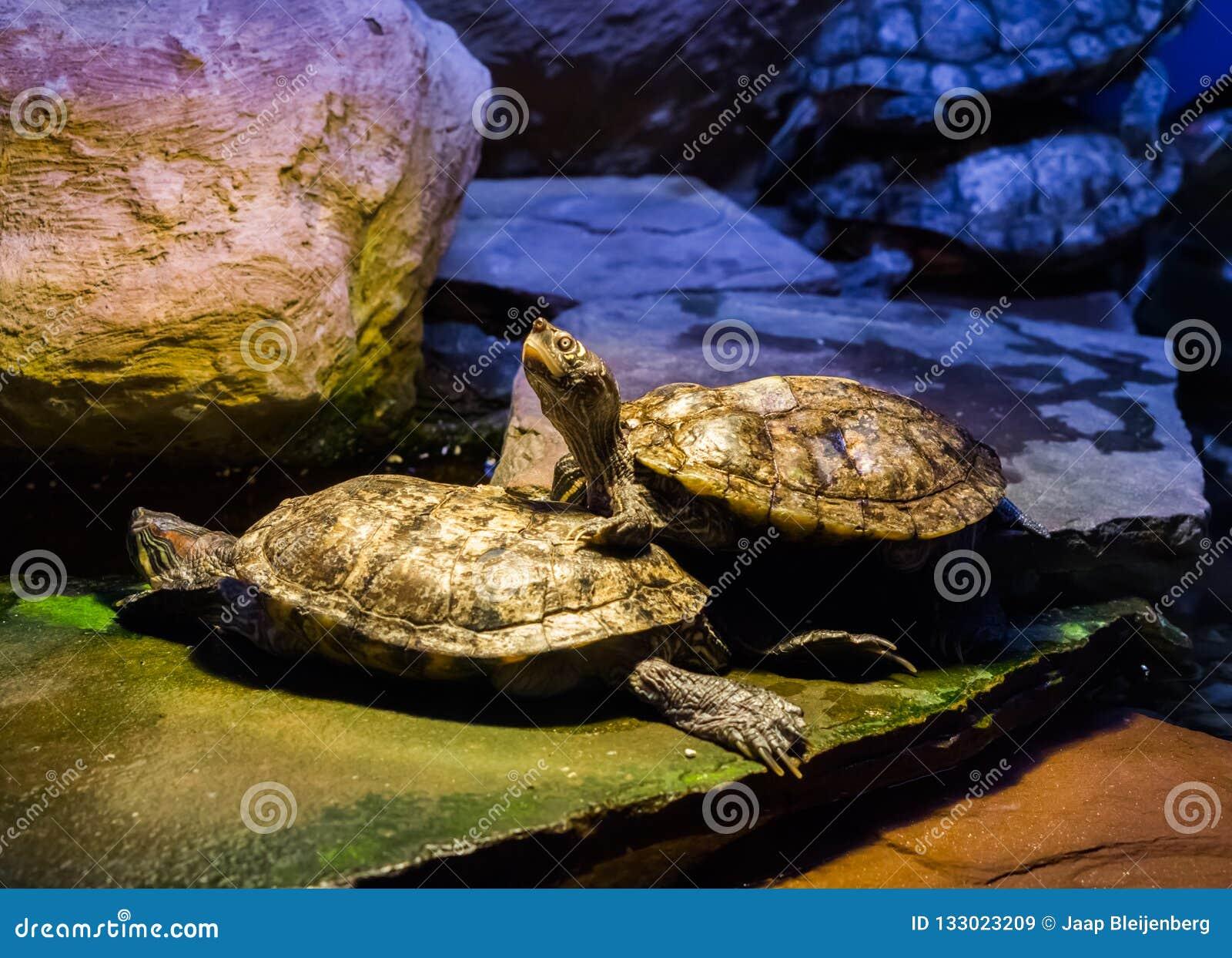 Χελώνα ολισθαινόντων ρυθμιστών του Cumberland που στέκεται σε μια άλλη χελώνα και που ανατρέχει με τα επικεφαλής, τροπικά ερπετά