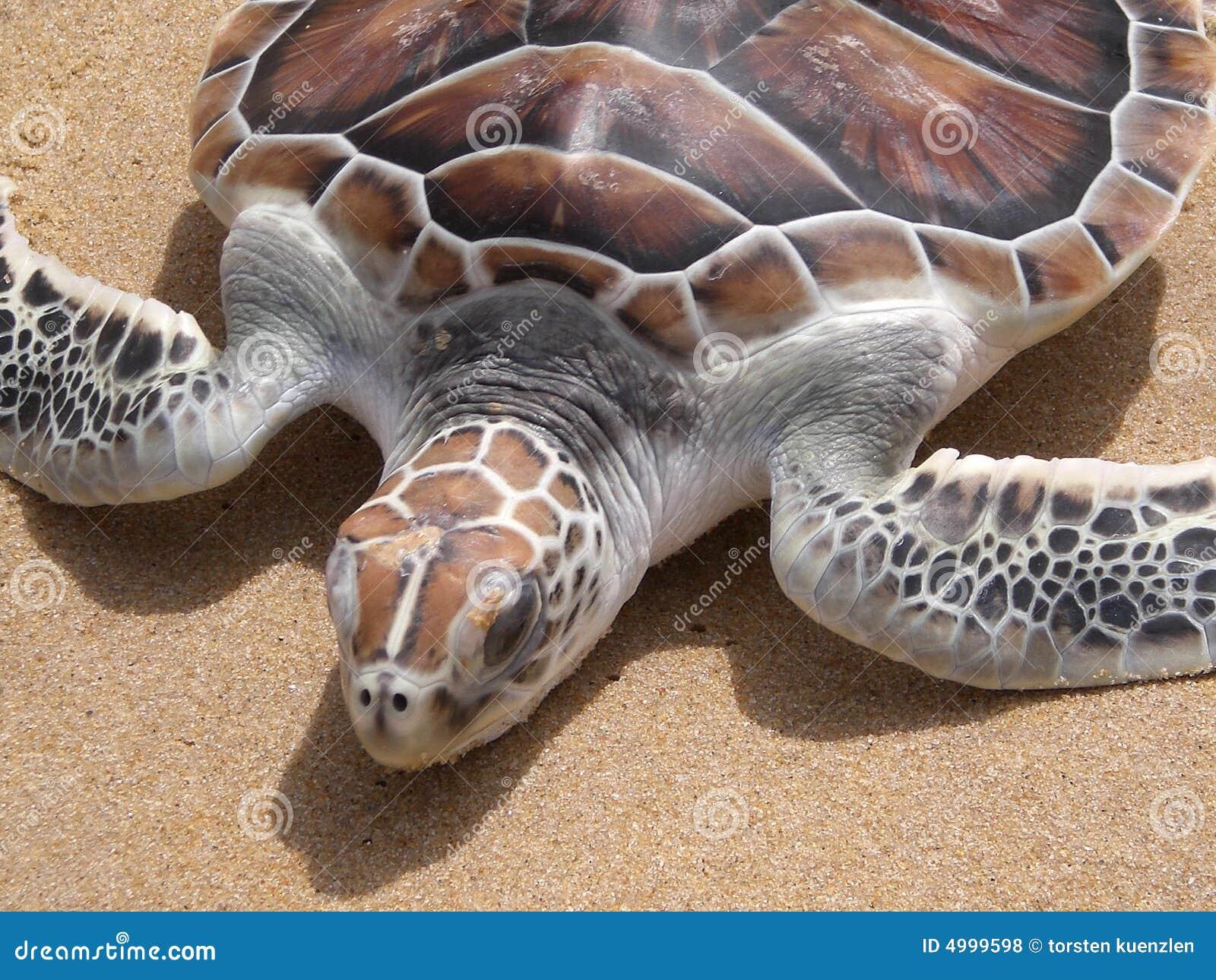 χελώνα παραλιών leatherback phuket