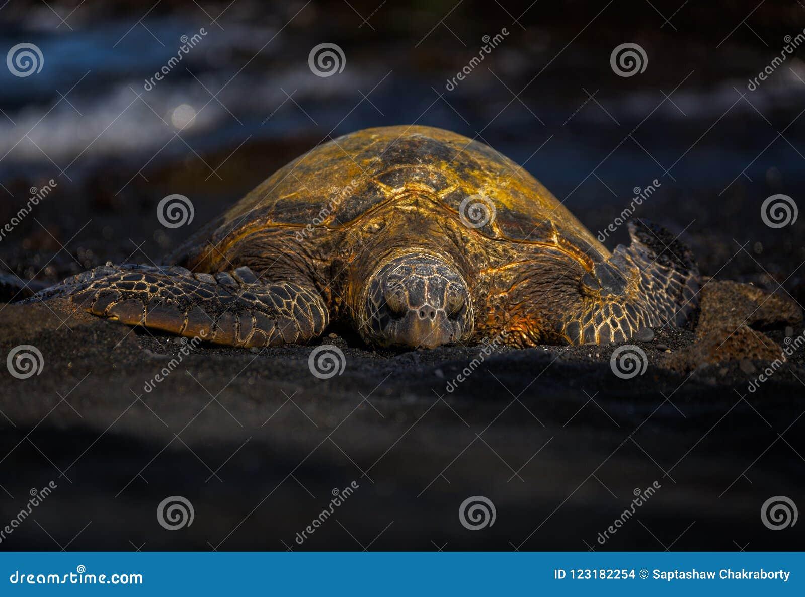 Χελώνα πράσινης θάλασσας σε μια μαύρη παραλία άμμου