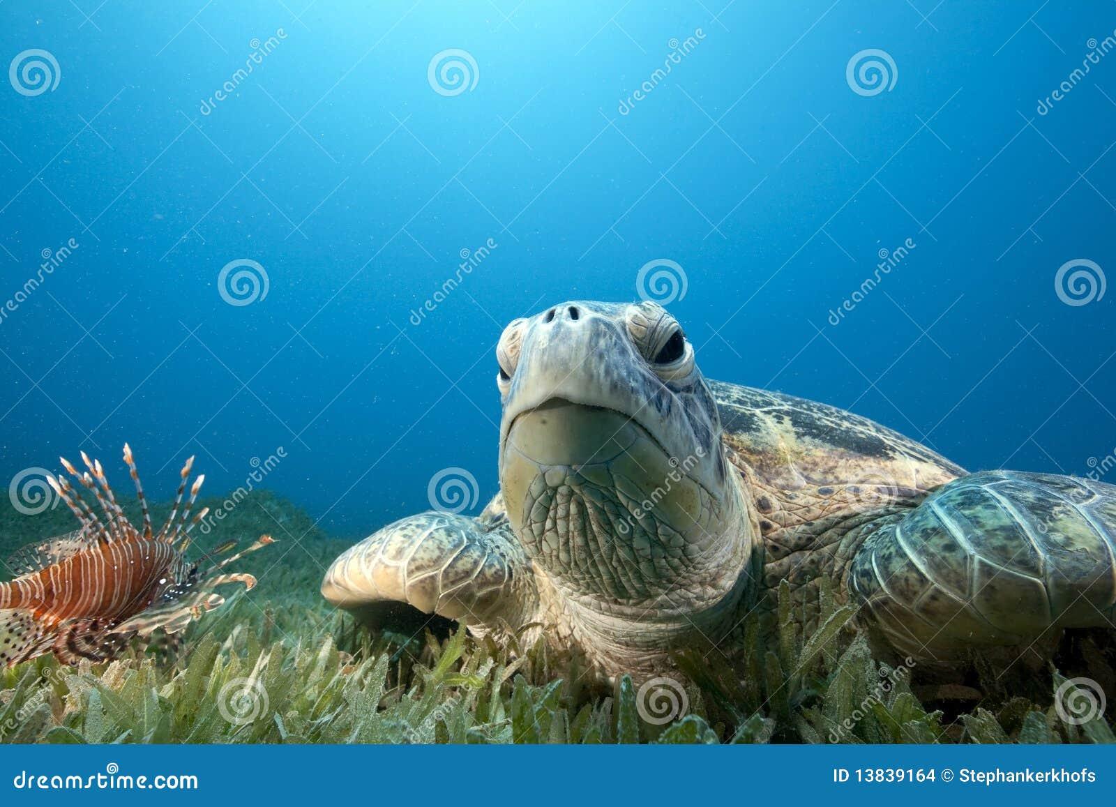 χελώνα πράσινης θάλασσας &