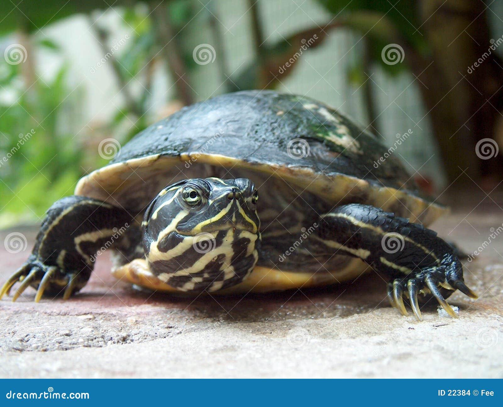 Download χελώνα στοκ εικόνες. εικόνα από θραύσεις, χελώνες, snapper - 22384