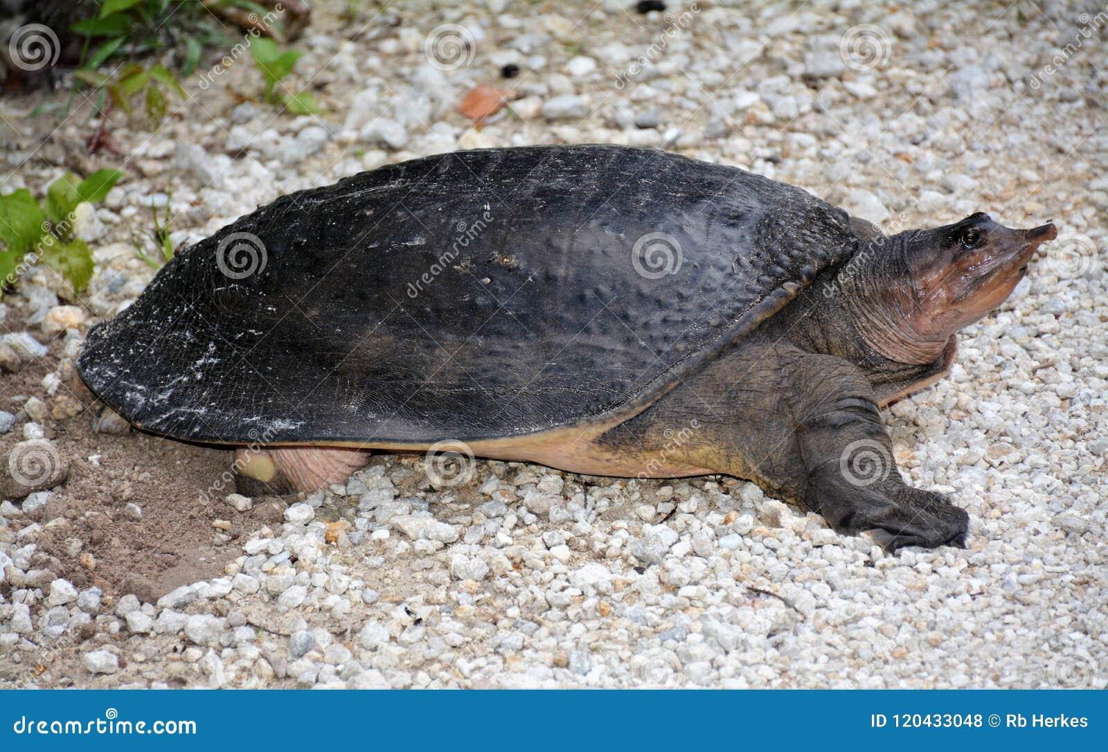 Χελώνα Apalone Ferox Softshell που γεννά τα αυγά κατά μήκος της σύνδεσης Everglades Φλώριδα του Μονρόε