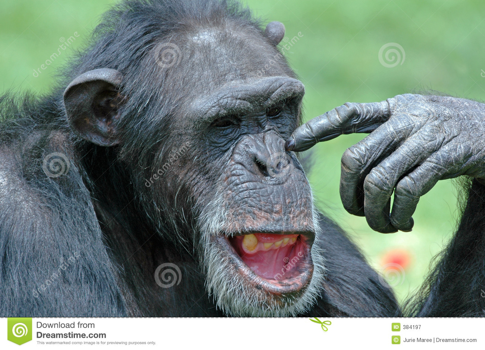 χιμπατζής αστείος