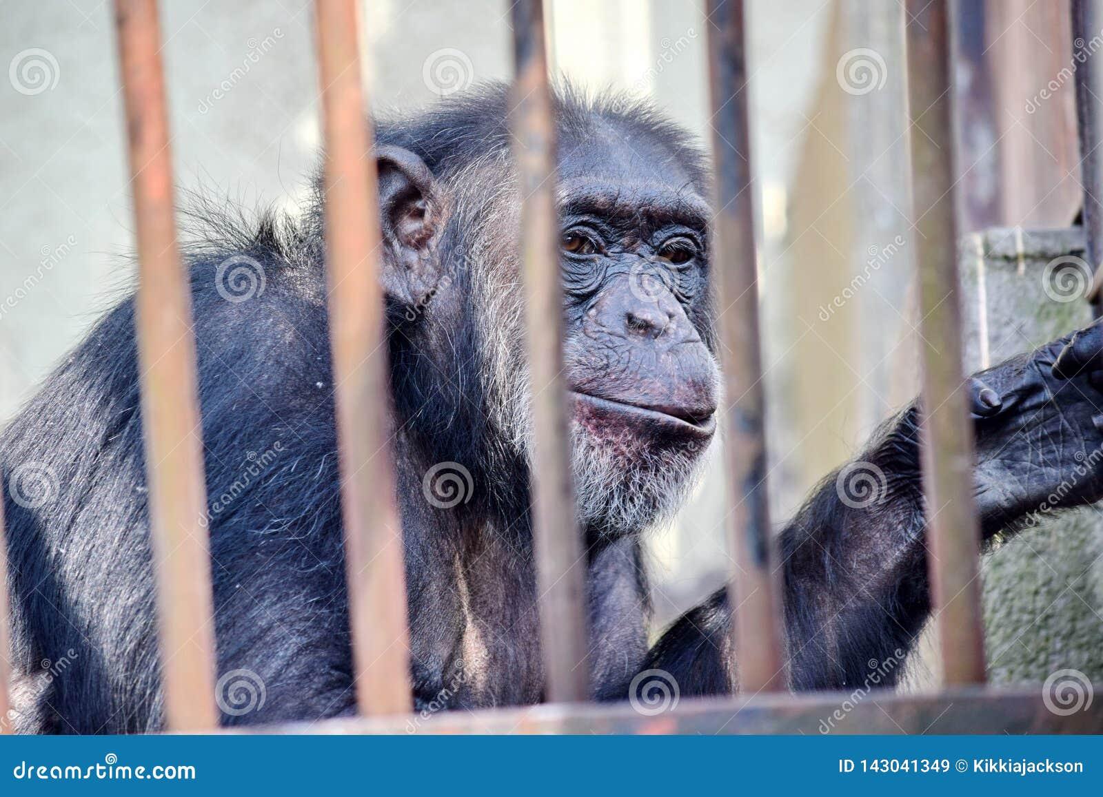 Χιμπατζής πίσω από τον παν πίθηκο τρωγλοδυτών SAN φραγμών στο ζωολογικό κήπο χωρίς το διάστημα